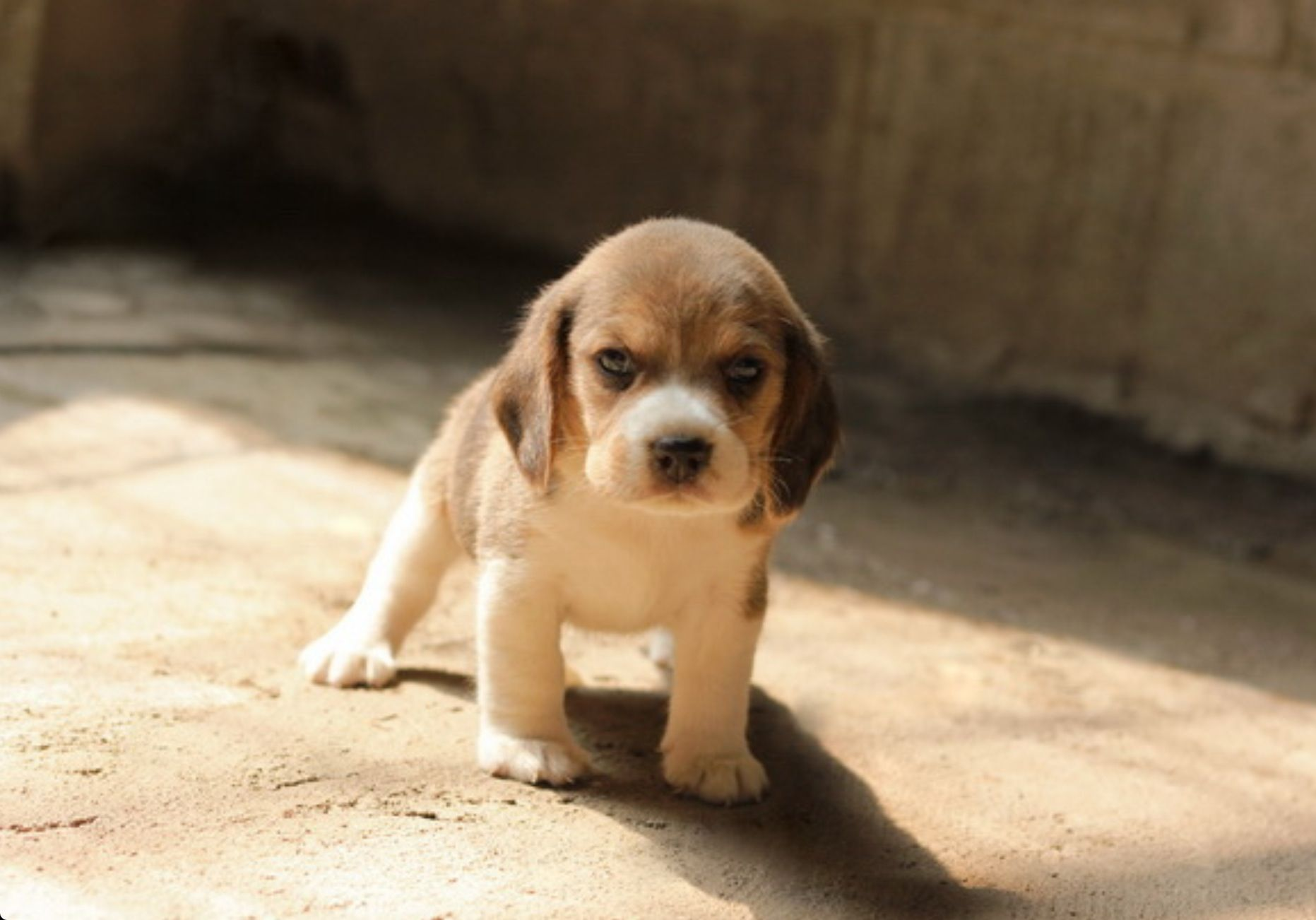 Baby beagle (With images) Beagle puppy, Cute beagles