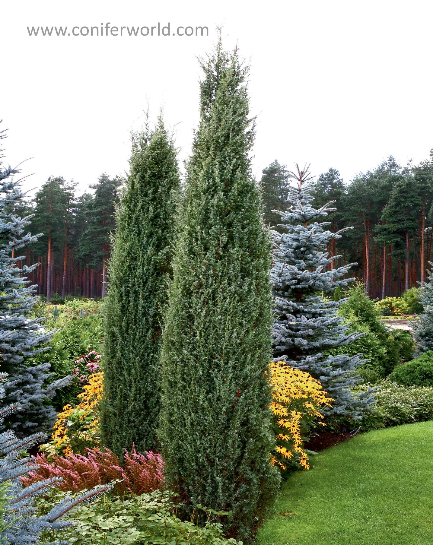 juniperus communis hibernica a narrow conical or columnar. Black Bedroom Furniture Sets. Home Design Ideas