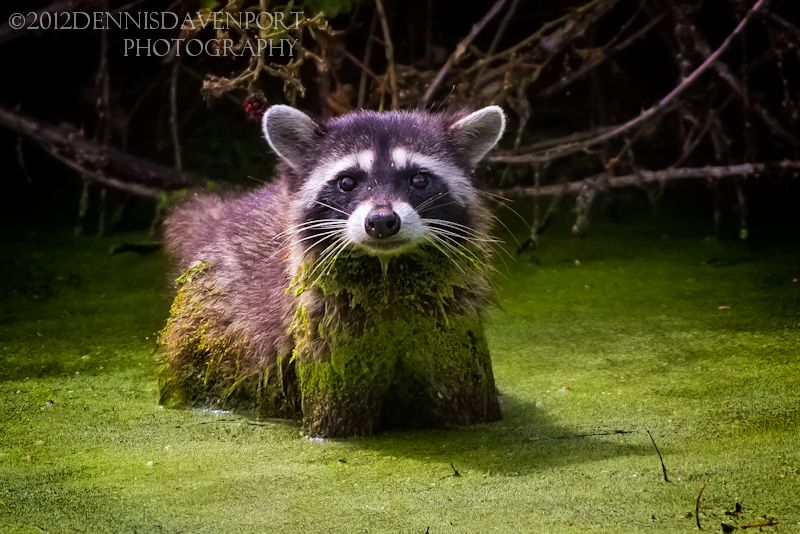 """This raccoon was hunting in the mucky water by using its front claws to scrape the bottom.  Taken Aug. 8, 2012, at the Ridgefield NWR.  This picture was selected for publishing in the Clark County, WA., book, """"Clark County and Southwest Washington.""""   """"We wrapped up the Capture Clark County and Southwest Washington book phase with an incredible 28,299 photo submissions, 921,459 votes, 112,700 loves and 78,435 comments. In every way, the Capture Clark County community exceeded our…"""