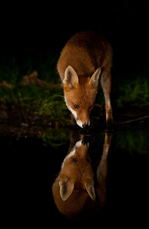 Red Fox Drinking