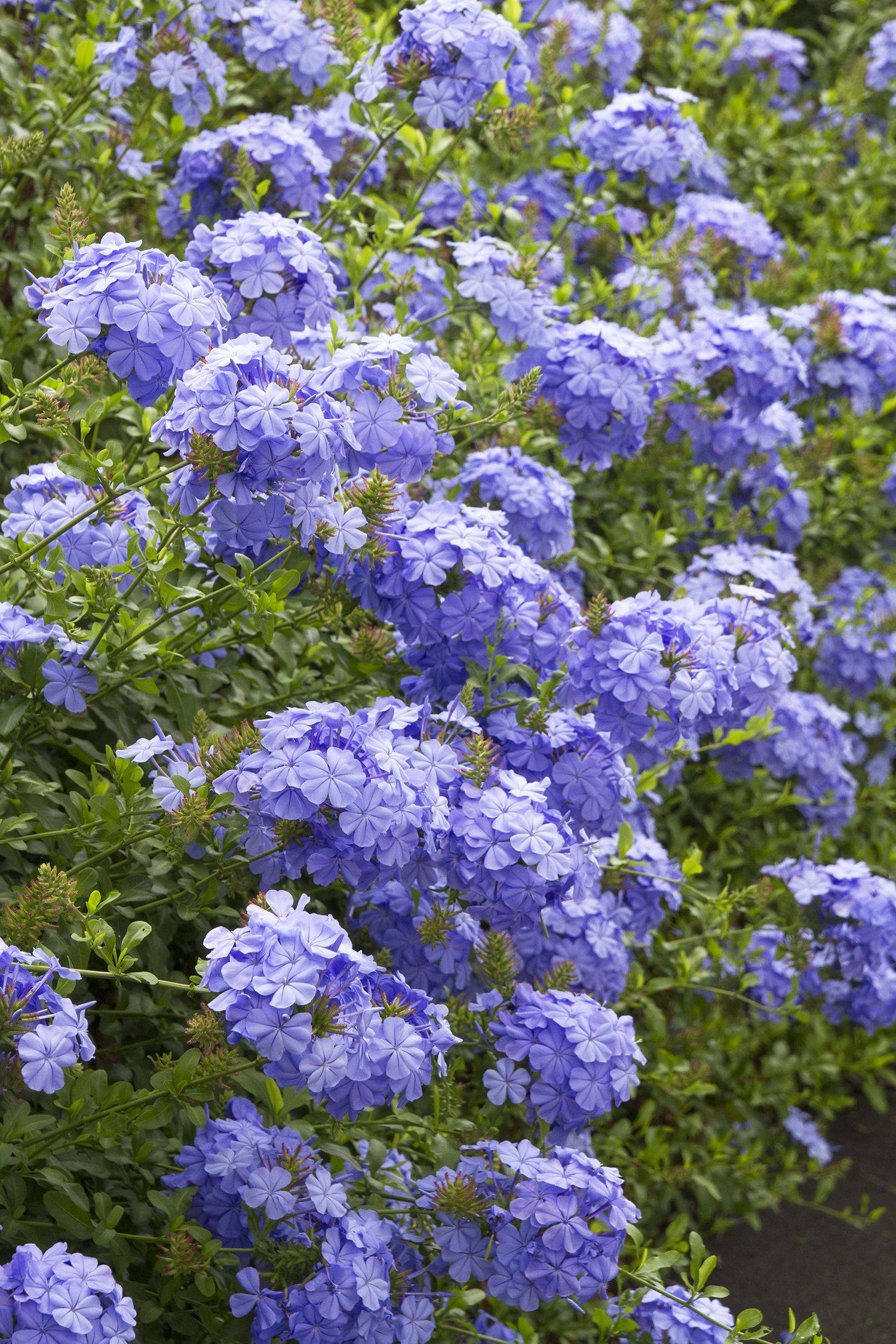 Royal Cape Plumbago Monrovia Royal Cape Plumbago Available At