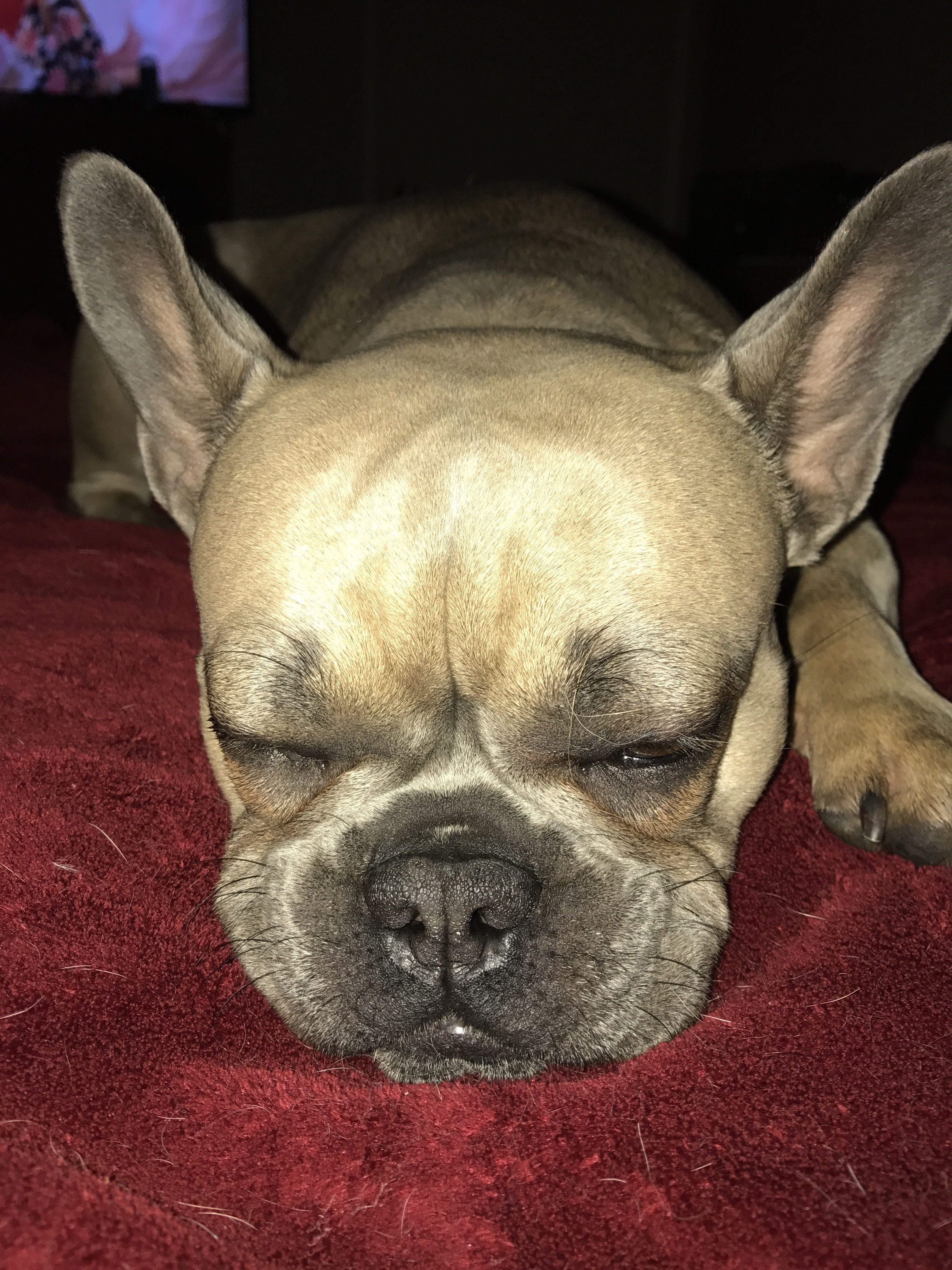 Pin By Frenchie Pride On Blue Fawn Sable French Bulldog French Bulldog Bulldog Fawn