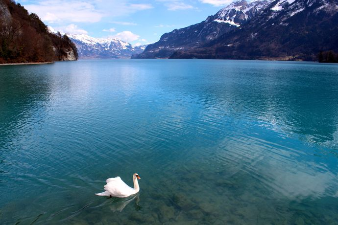 """Nature's Beauty"" Spring 2013:  Micaela Rodriguez (Rome, Spring 2013)  Arizona State University  ""Lone Swan"" in Interlaken, Switzerland  This photo was taken at one of the two lakes surrounding Interlaken. It was taken with a wide angle lens on a canon t4i."