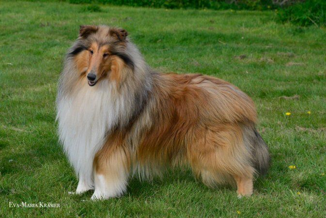 Rough Collie Remix, beautiful WICANI The home of happy