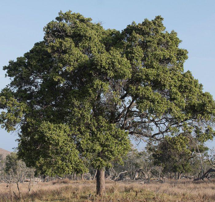 hawaiian sandalwood tree - Google Search | Anoint Me