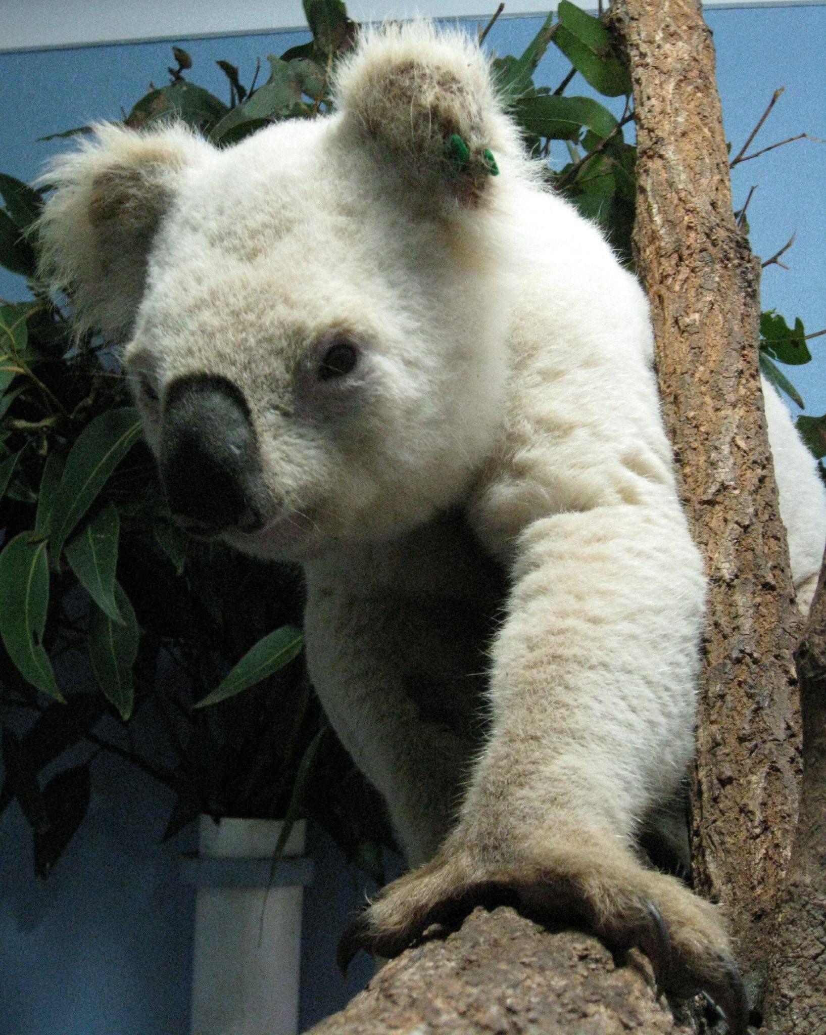 Rare white koala. Australia Koalas sleep for 20 hours a