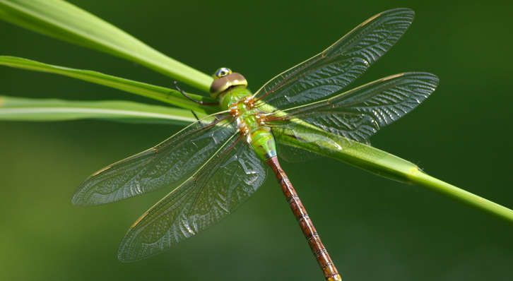 Green Darner Dragonfly The Green Darner Dragonfly Is One Of The