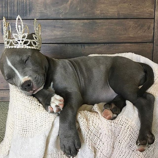 "Pit Bull Princess Hope you're doing well..From your friends at phoenix dog in home dog training""k9katelynn"" see more about Scottsdale dog training at k9katelynn.com! Pinterest with over 21,400 followers! Google plus with over 280,000 views! You tube with"