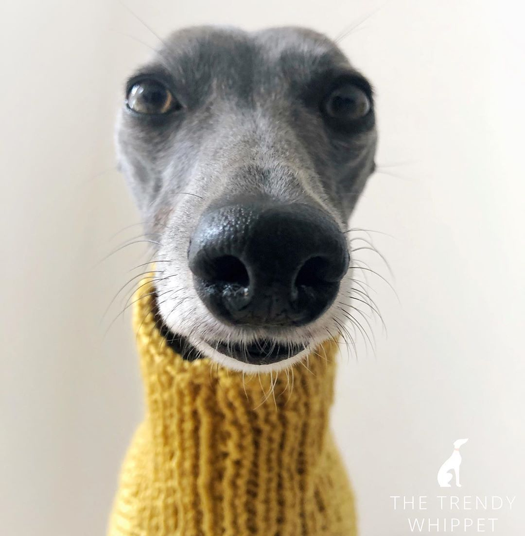 The Trendy Whippet On Instagram Heck It S Me In A Turtle Neck