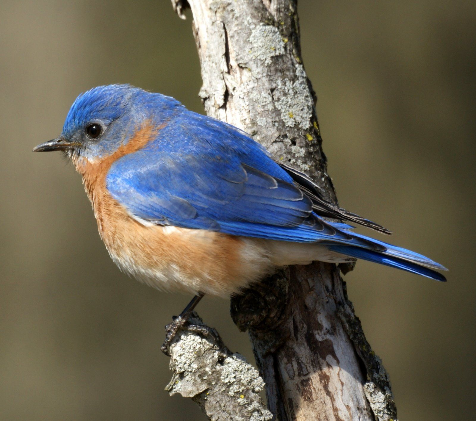 Indian Animals Of Eastern Blue Bird Pictures
