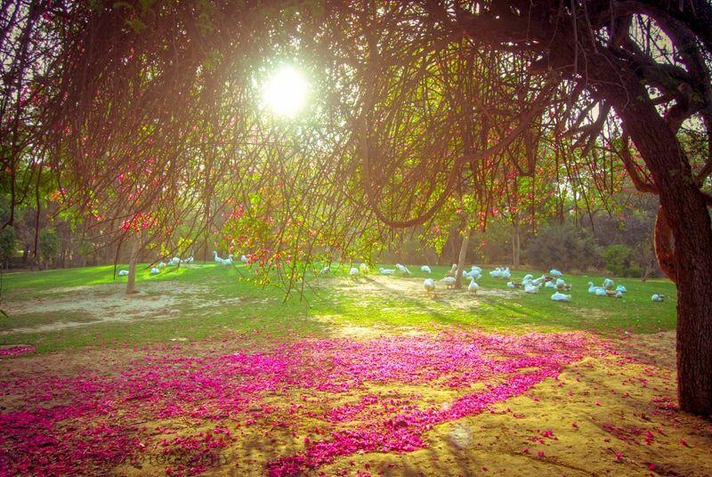 Pink bougainvillea trees, Lodi Gardens, Delhi India