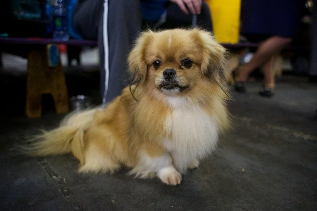 Photos Cuddle Up With The Perfect Pooches Of The Westminster Kennel Club Dog Show Tibetan Spaniel Dogs Spaniel Dog