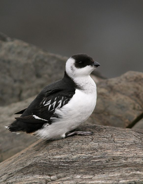 Dovekie Little Auk Alle Alle A Small Seabird That Breeds On Islands In The High Arctic