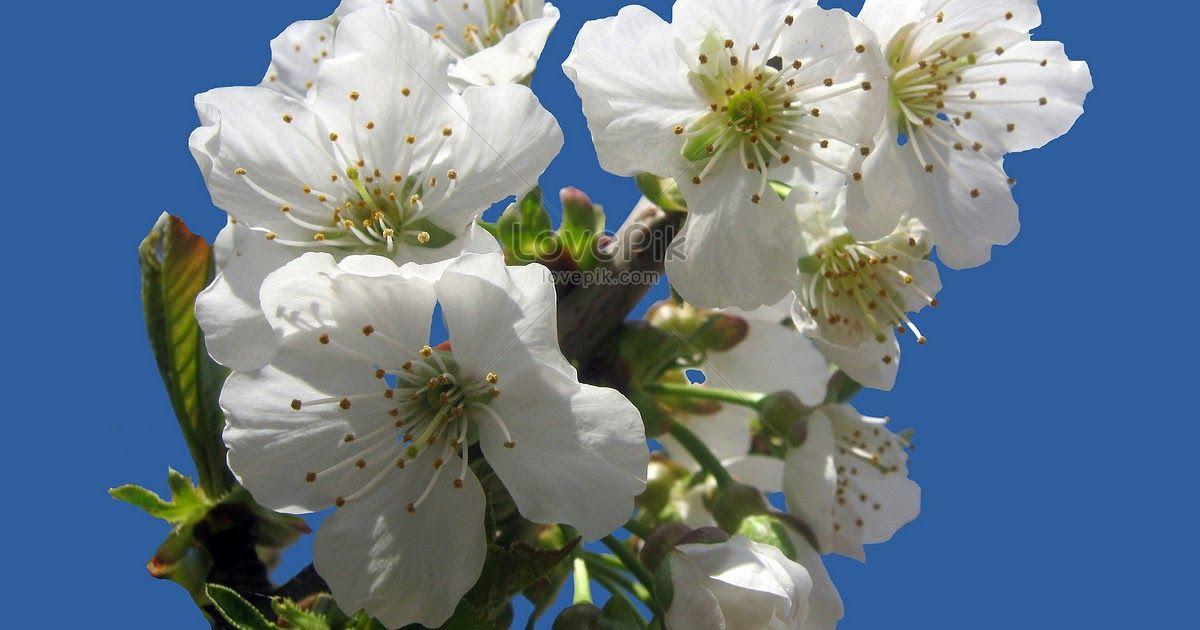 Terbaru 21 Gambar Bunga Sakura Putih Bunga Sakura Mekar Putih Gambar Unduh Gratis Foto Bunga Sakura Putih Lokal Herman Bons Di 2020 Bunga Sakura Bunga Menanam Bunga