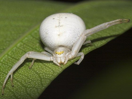 White crab spider crab spiders can appear white insects arachnids pinterest spider for What does a garden spider look like