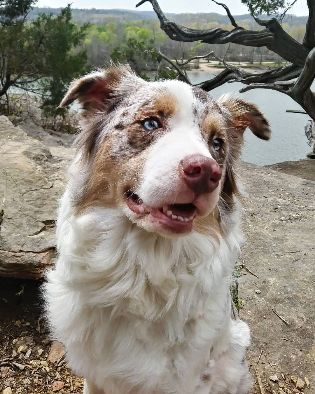 Best hiking partner ever. My service Australian Shepherd ...
