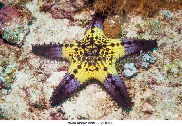 Starfish Anatomy Worksheet Oreasteridae Stock Photos