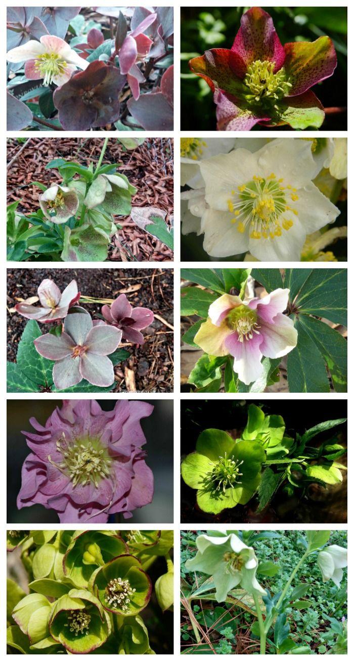 Helleborus Perennial How To Grow Hellebores Lenten Rose