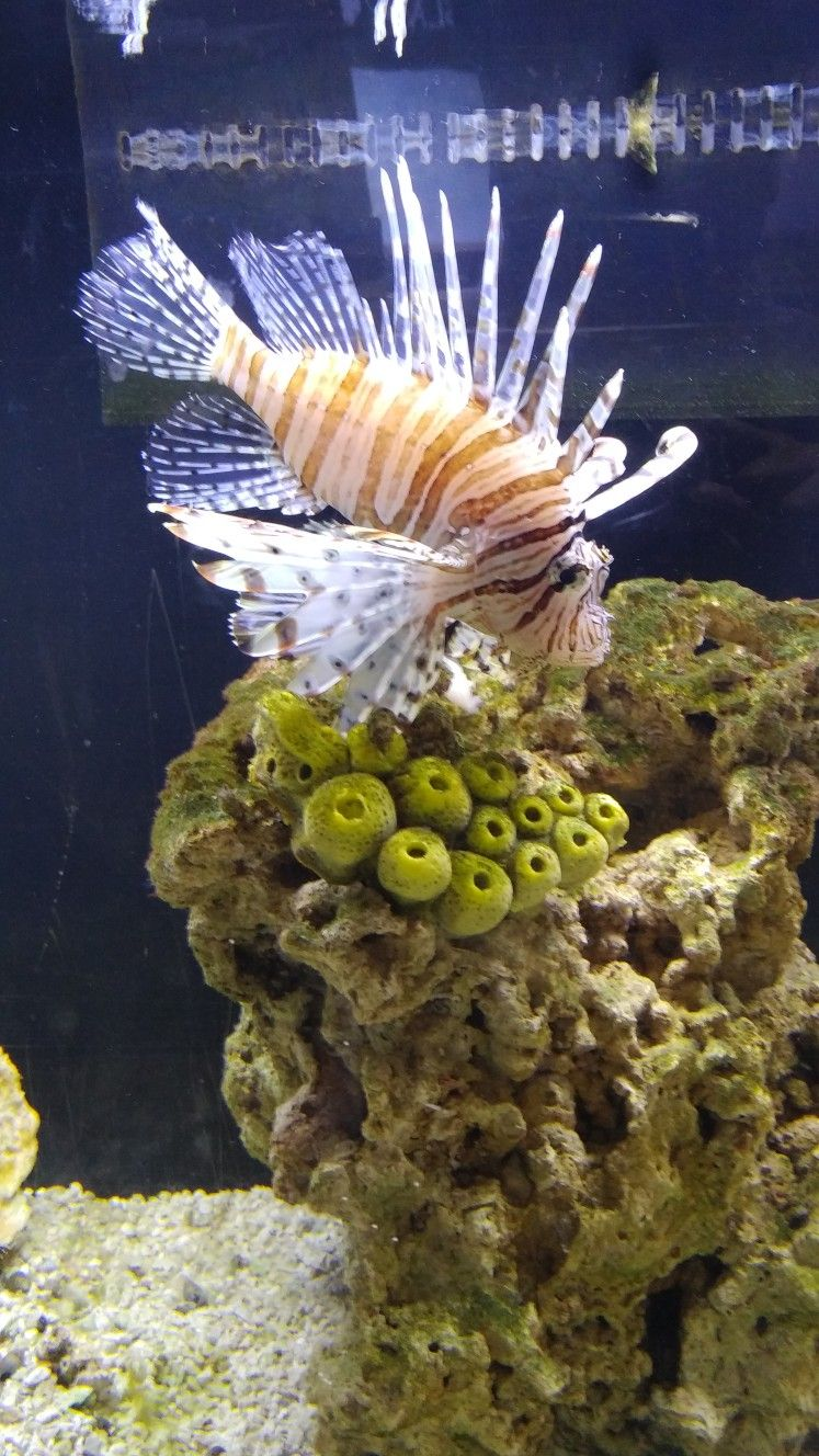 Lion Fish at SeaQuest in Fort Worth in the Ridgemar Mall