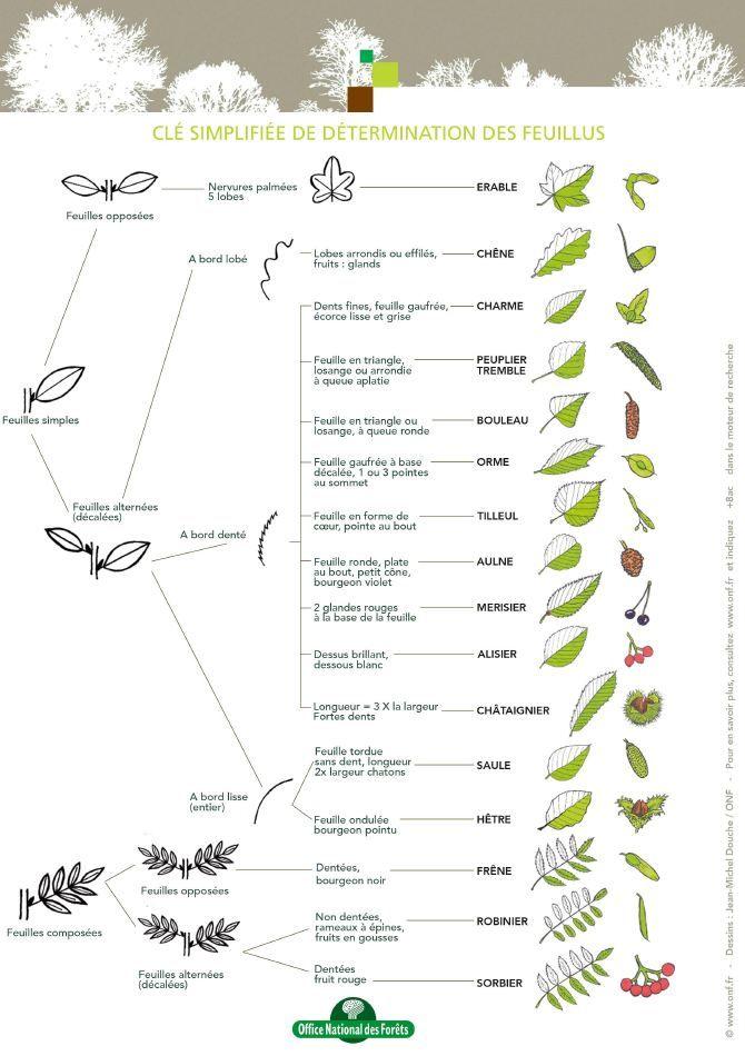 Reconnaitre Les Plantes Dans La Nature Reconnaitre Les Arbres Arbres A Feuilles Caduques Arbre Feuillu