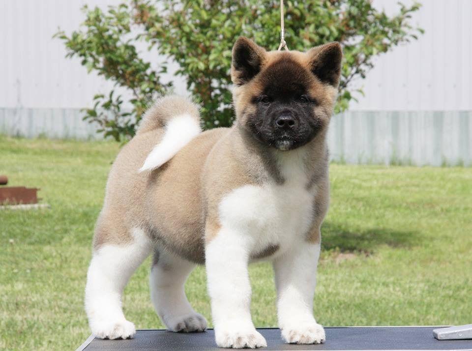 Our Akitas   Akita's for Sale and Get 50% Off   Heavenly Akitas   Akita dog, Akita puppies, Akita puppies for sale
