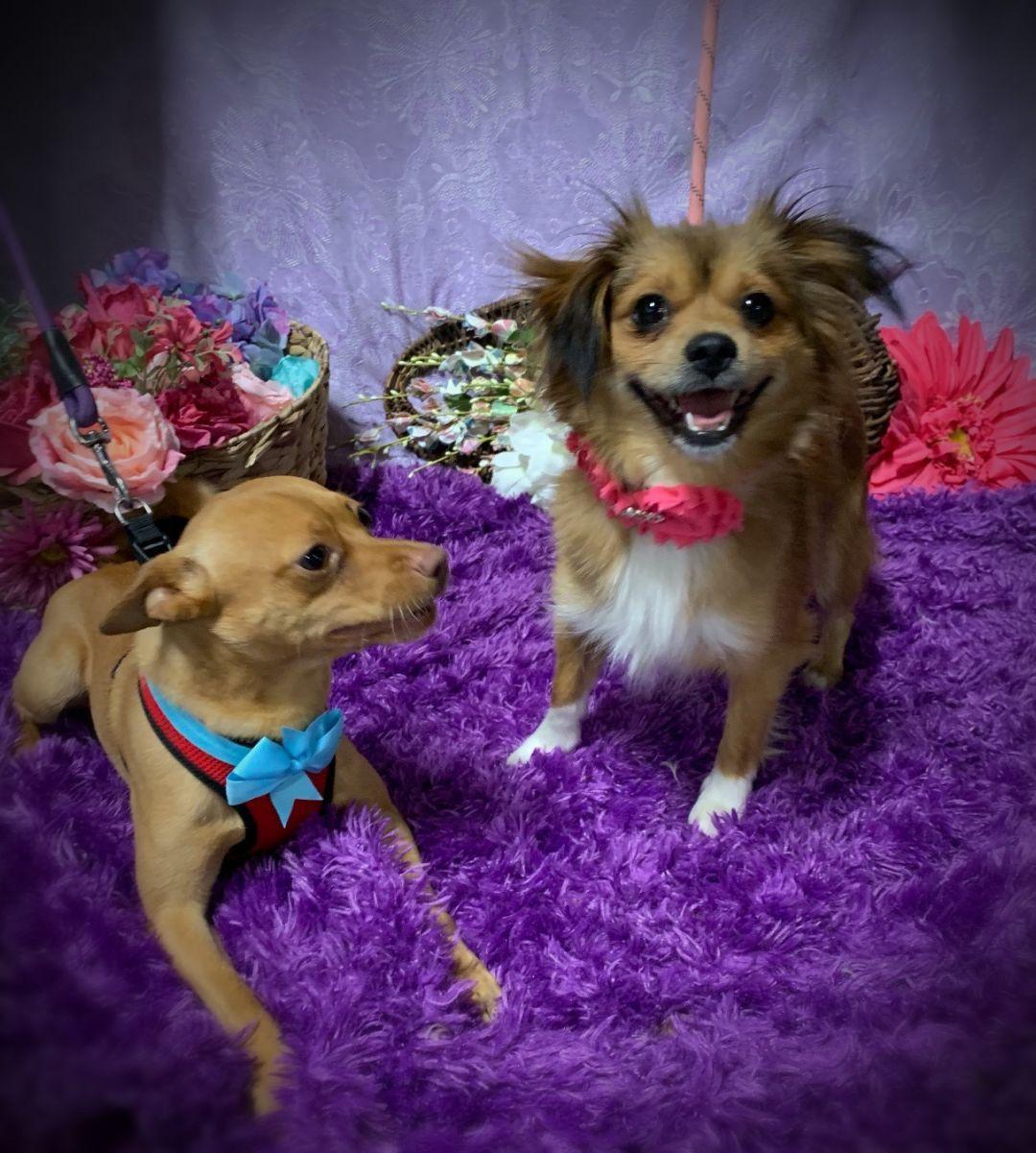 Adopt Cher On Pomeranian Chihuahua Mix Animal Shelter I Want