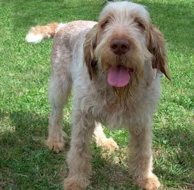 If we ever get another dog, it will be this breed.  A Spinone Italiano. In.Love.