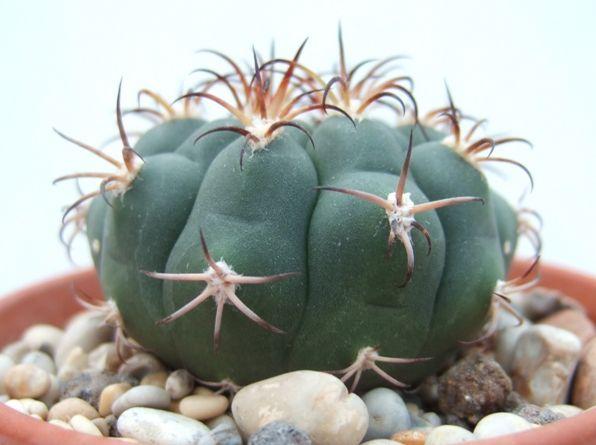 Gymnocalycium eytianum