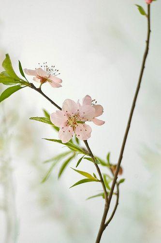 桃花   深白1   Flickr