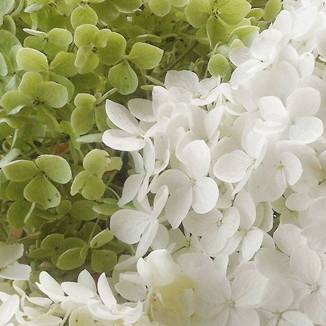 Hydrangea Annabelle The Flowers Turn Green With Age Picked For Drying But I Suspect The White Ones May Turn Br Landscaping With Rocks Small Gardens Flowers
