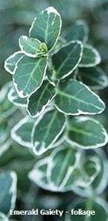 Emerald Gaiety Euonymus