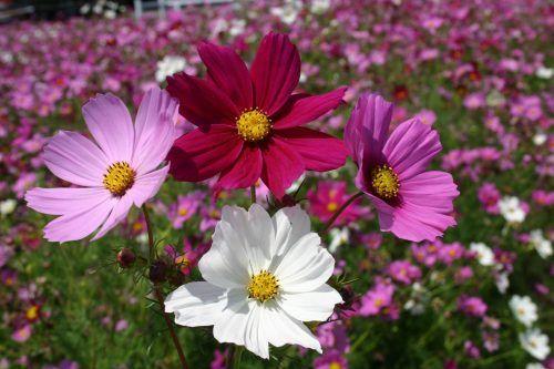 Silver Falls Seed Company Cosmos Bipinnatus Sensation Mix Cosmos Flowers Cosmos Plant Backyard Flowers