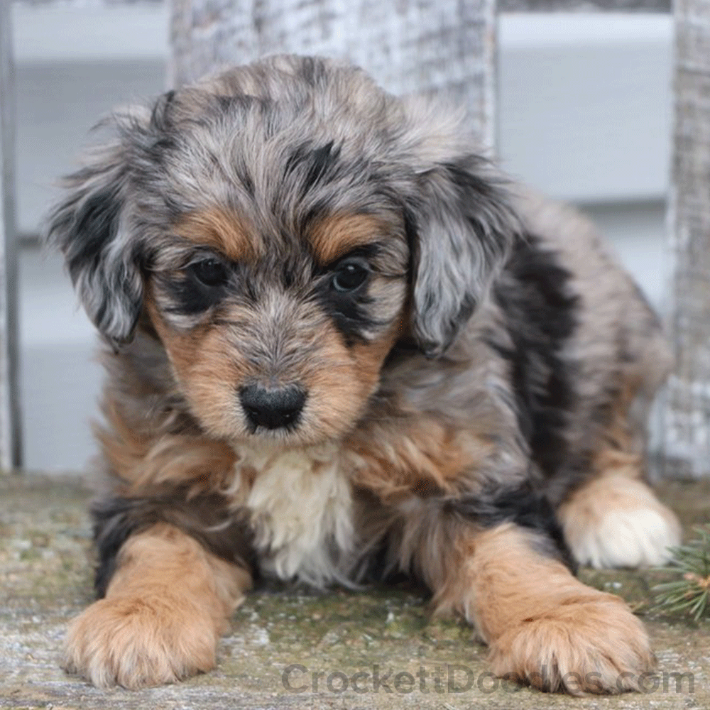 Merle Aussiedoodles Cute dogs and puppies, Puppies, Mini