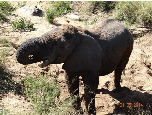 Top-view-of-an-Elephant-bull-drinking-from-a-dry-river-bed-on-our-4-Day-Big-5-Durban-Safari-Tour-to-Hluhluwe-Umfolozi-game-reserve.jpg (524×396)