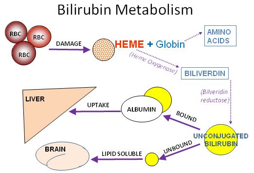drug metabolism in the neonate This drug onset of action is 1 to 2 min after intravenous administration,  dobutamine neonate, dobutamine metabolism neonate, dobutamine pharmacokinetics.
