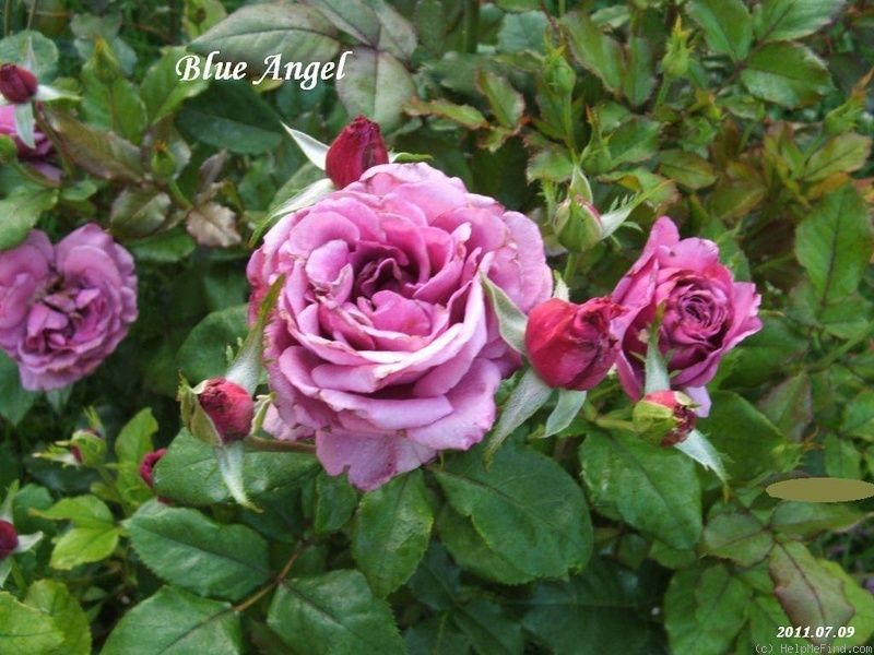 'Blue Angel' Rose Photo