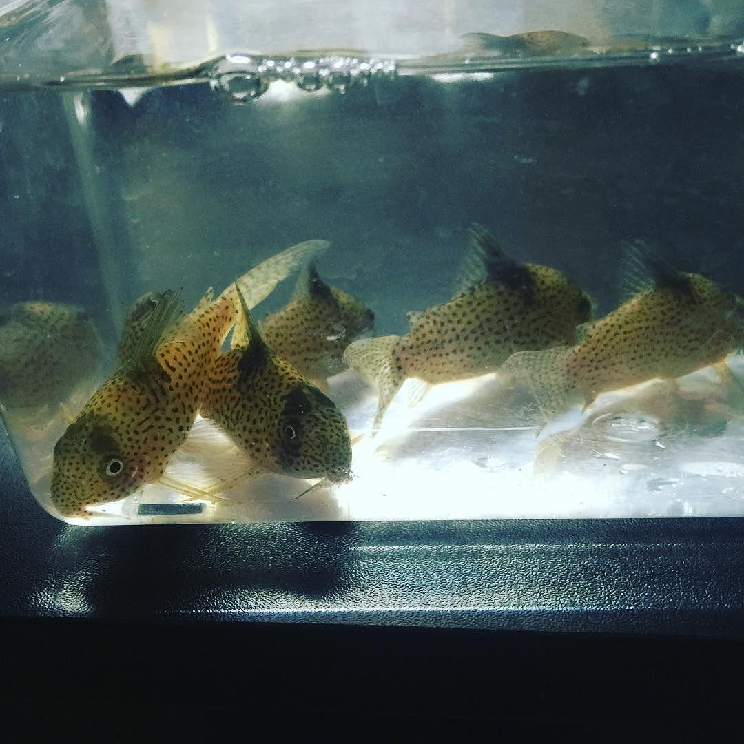 Freshwater aquarium fish oddballs - Rio Tocantins Corydoras Cory Corycat Corys Fish Amazonsaquariumfish Brazil