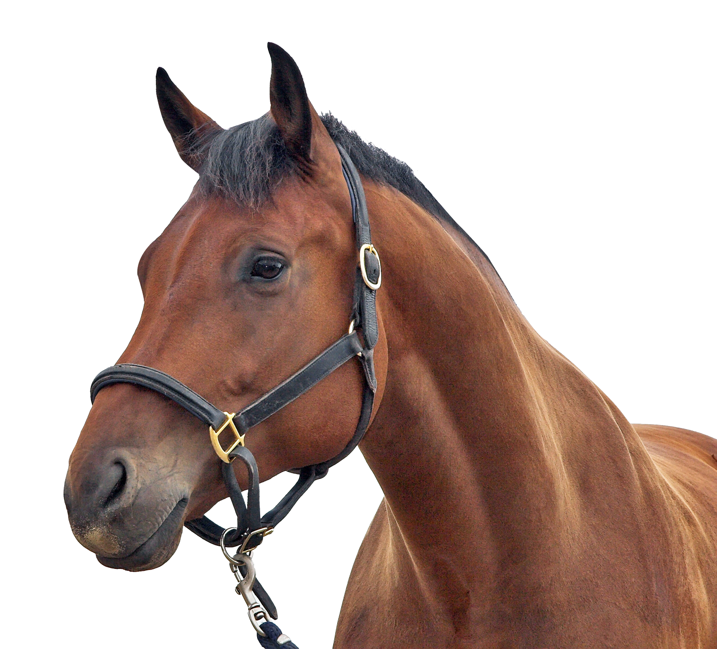 Horse Png Image Horses Free Horses Png
