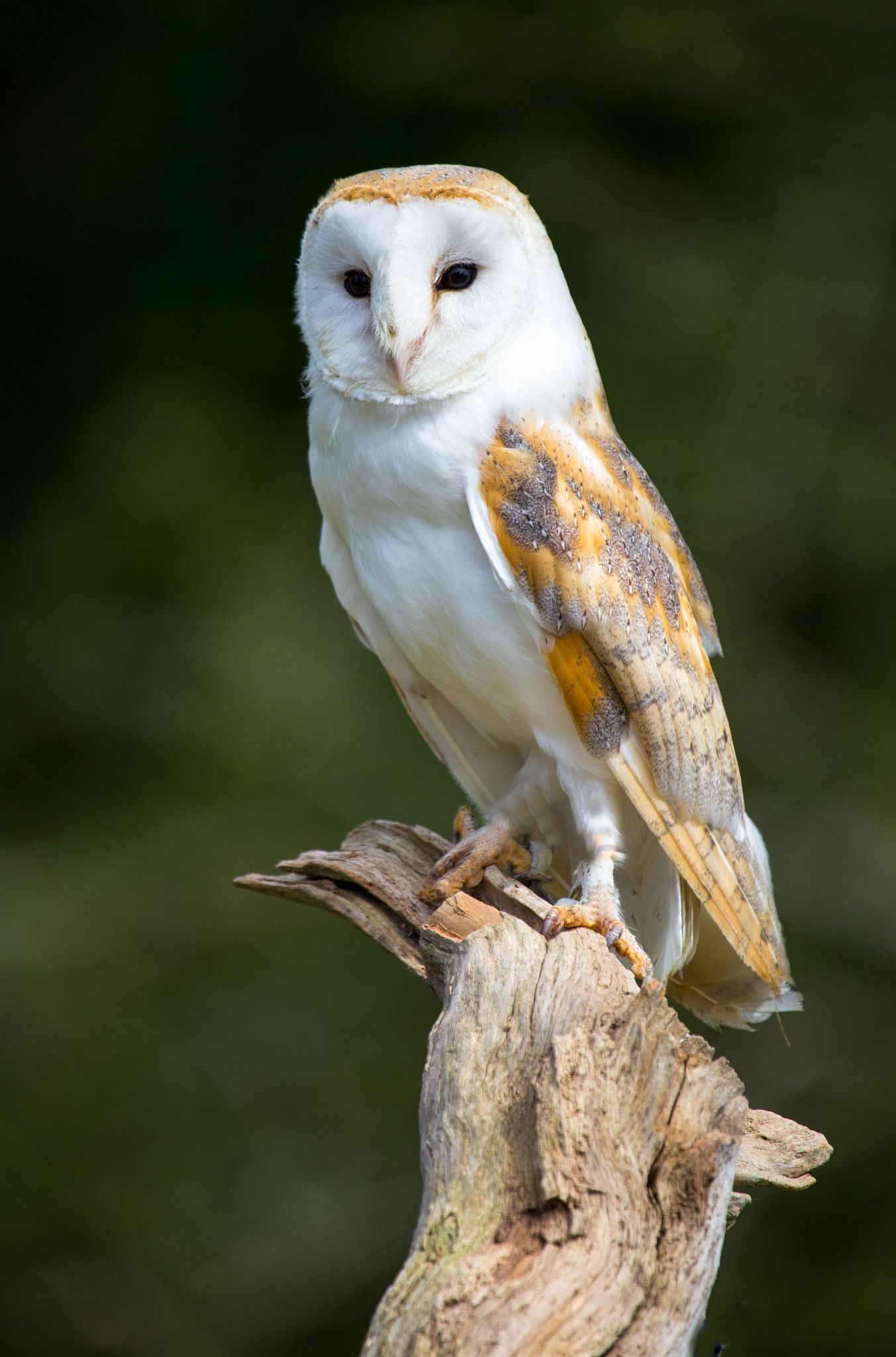 Barn owl 8x10 bird photograph wildlife nature photo wild animal a beautiful barn owl title owl by john davies on 500px buycottarizona