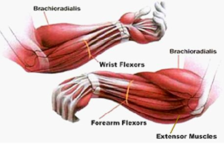 Forearm Muscles Diagram Google Search Muscles Pinterest