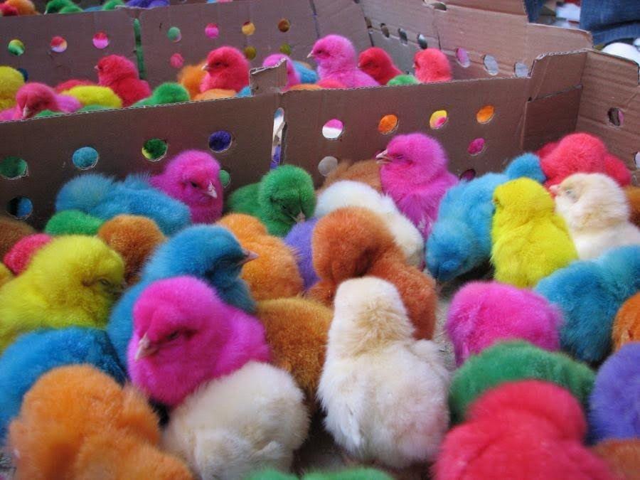 Resultado de imagen para pollitos de colores