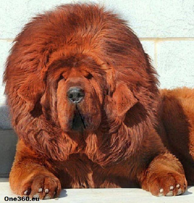 Big Woofer Dog