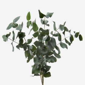 Green Cinerea Eucalyptus