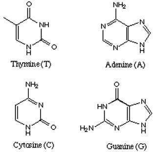 there are four dna bases adenine cytosine guanine and