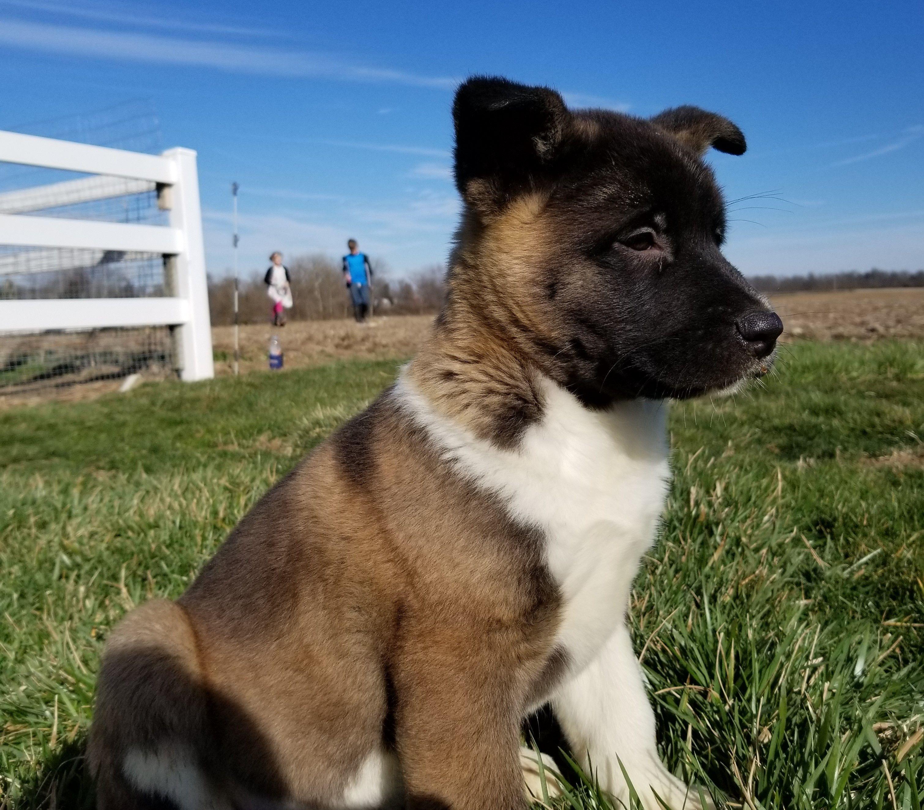Boerboel Puppy For Sale In Cincinnati Oh Adn 20308 On