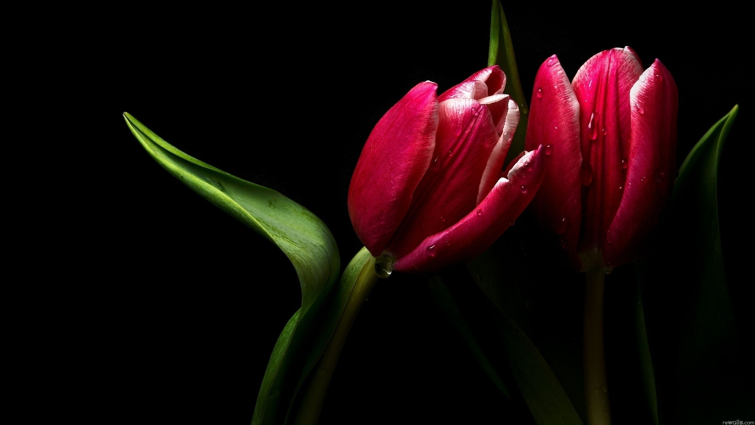 parrot tulip hd background bing images flowers pinterest