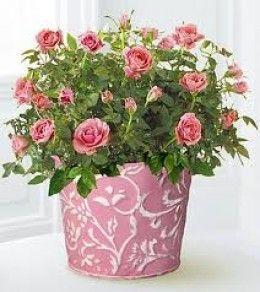 Miniature Rose Bush Indoor Care
