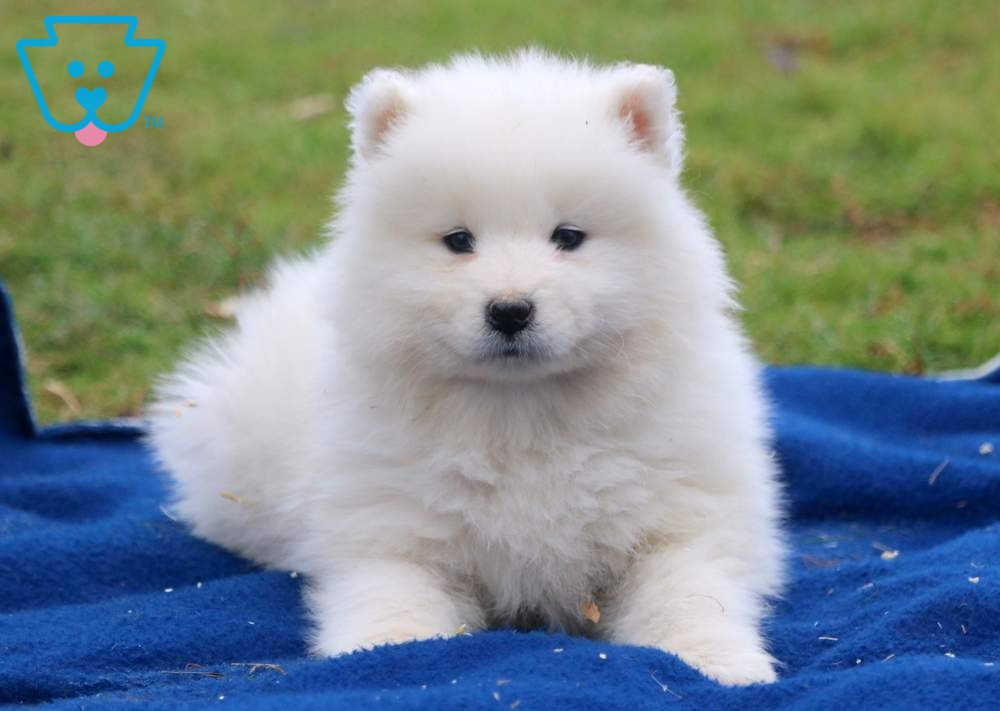 Nate In 2020 Samoyed Puppy Samoyed Puppies For Sale Puppies