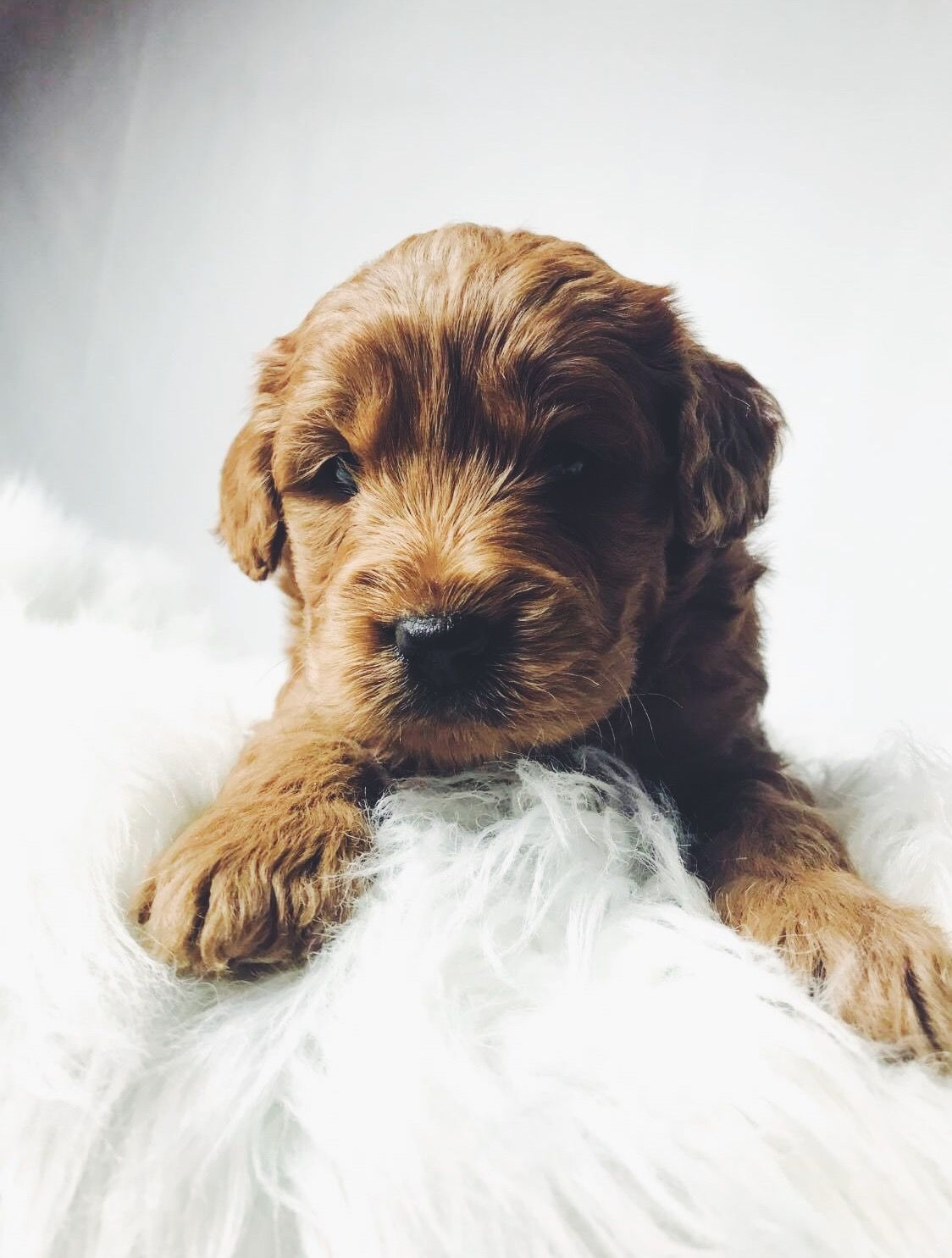 Pin By Sophie Price On Lola In 2020 Golden Retriever Dogs Animals