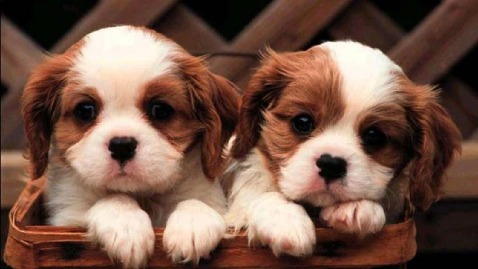 Download Free Hd Cute Dog Live Wallpaper The Quotes Land King Charles Cavalier Spaniel Puppy Puppies Cute Puppy Wallpaper